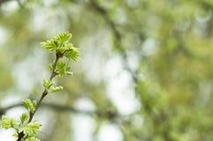 Folhas novas Foto de Stock