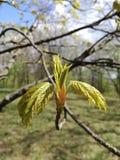 Folhas novas da árvore côr de avelã foto de stock royalty free