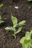 Folhas novas da ervilha - plantas da mola Fotos de Stock