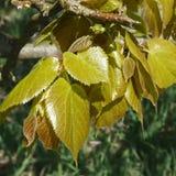 Folhas novas da faia na mola, sylvatica do Fagus foto de stock