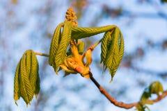 Folhas novas da mola da castanha no por do sol imagem de stock royalty free