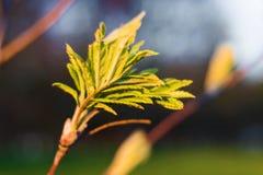 Folhas novas da mola de Rowan no por do sol foto de stock