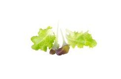 Folhas novas da salada Imagem de Stock Royalty Free