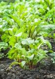 Folhas novas das beterrabas Foto de Stock