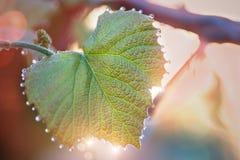 Folhas novas das uvas com gotas do orvalho NASCER DE O SOL borrar imagens de stock