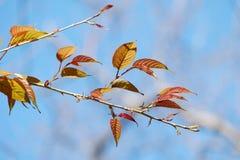 Folhas novas de Sakura no fundo do céu azul Fotografia de Stock Royalty Free