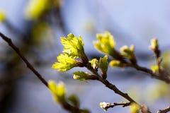Folhas novas de uma árvore Foto de Stock Royalty Free