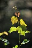 Folhas novas de uma árvore em um ramo Fotografia de Stock Royalty Free
