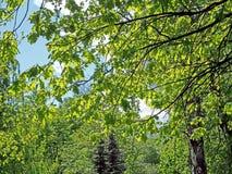Folhas novas do carvalho contra o céu azul iluminado pelo sol fotos de stock royalty free