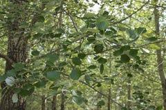 Folhas novas do carvalho no sol fotografia de stock royalty free
