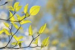 Folhas novas do crescimento na luz solar. fotos de stock royalty free