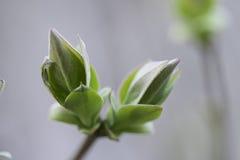 Folhas novas do Lilac Fotografia de Stock