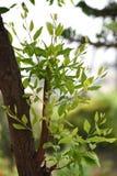 Folhas novas, vida nova do sandalwaad fotografia de stock
