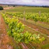 Folhas orgânicas do vinhedo nas fileiras Imagem de Stock