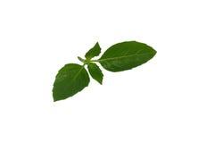Folhas orgânicas frescas da manjericão isoladas no fundo branco Imagens de Stock Royalty Free