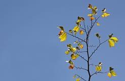 Folhas outonais amarelas de encontro ao céu azul Foto de Stock