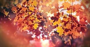 Folhas outonais bonitas no fim da tarde & no x28; leaves& x29 do outono; Imagens de Stock
