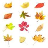 Folhas outonais isoladas de várias árvores Fotos de Stock Royalty Free