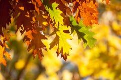 Folhas outonais que penduram da árvore no fundo obscuro imagem de stock