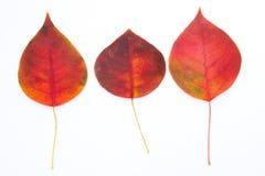 Folhas outonais vermelhas Fotografia de Stock