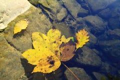 Folhas para baixo caídas amarelo na água Fotos de Stock Royalty Free