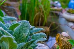 Folhas peludos do Stachys da planta Fotos de Stock Royalty Free