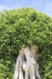 Folhas pequenas da árvore do ficus Imagem de Stock