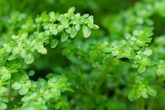 Folhas pequenas macro com fundo borrado Fotografia de Stock