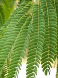 Folhas persas da árvore de seda Fotos de Stock