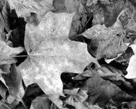Folhas preto e branco Imagens de Stock Royalty Free