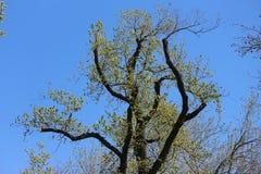 Folhas que começam florescer para fora árvore na mola fotografia de stock royalty free