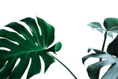 Folhas reais do monstera que decoram para o projeto da composição Tropical, Fotos de Stock Royalty Free