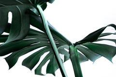 Folhas reais do monstera que decoram para o projeto da composição tropical Fotos de Stock Royalty Free