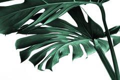 Folhas reais do monstera que decoram para o projeto da composição Tropical, imagens de stock royalty free