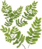 Folhas recolhidas do galho de Dawn Redwood do macro isoladas nos vagabundos brancos foto de stock