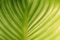 Folhas redondas Maranta Fotografia de Stock Royalty Free