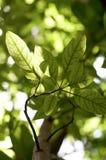 Folhas retroiluminadas Fotos de Stock