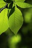Folhas retroiluminadas da faia Fotografia de Stock