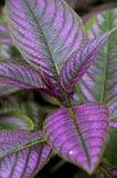 Folhas roxas Foto de Stock Royalty Free