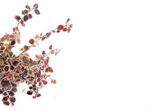 Folhas roxas Imagens de Stock