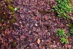 Folhas roxas Foto de Stock