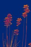 Folhas roxas Fotografia de Stock Royalty Free