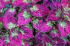 Folhas roxas e verdes brilhantes Fotografia de Stock Royalty Free