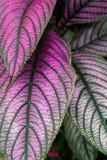 Folhas roxas e verdes grandes Imagens de Stock Royalty Free