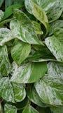 Folhas salpicadas do Philodendron imagens de stock