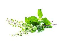 Folhas santamente da manjericão ou do tulsi Imagem de Stock