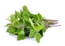 Folhas santamente da manjericão ou do tulsi isoladas no fundo branco Foto de Stock Royalty Free