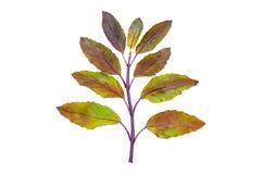 Folhas santamente vermelhas da manjericão imagens de stock