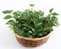 Folhas saudáveis do caril do alimento em uma cesta Imagens de Stock