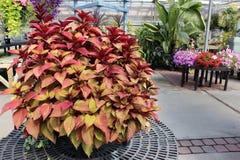 Folhas saudáveis luxúrias de um coleus Fotos de Stock